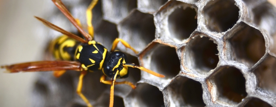 wasp resized